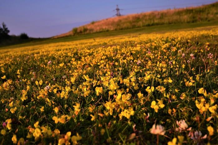 Field of Daisy's...